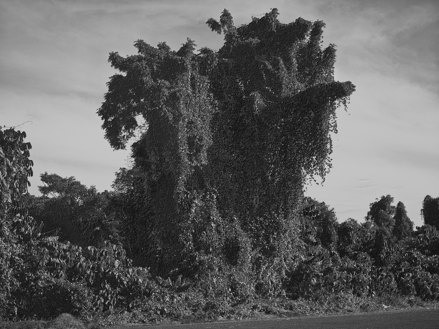 Jon Wyatt Photography - Fault Line I - A tsunami of vegetation - invasive vines in samoa