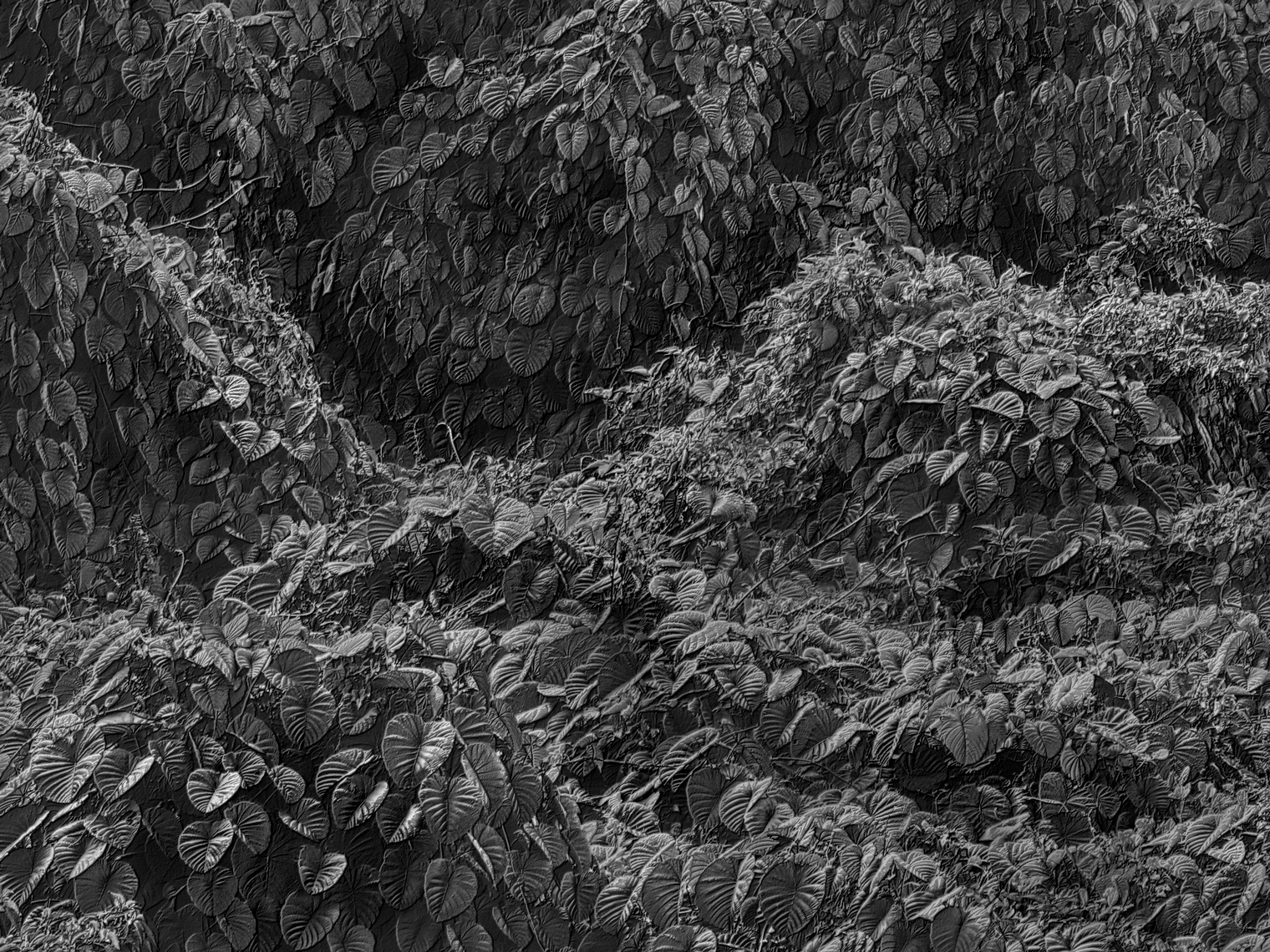 Jon Wyatt Photography - Fault Line II - A tsunami of vegetation - invasive vines in samoa