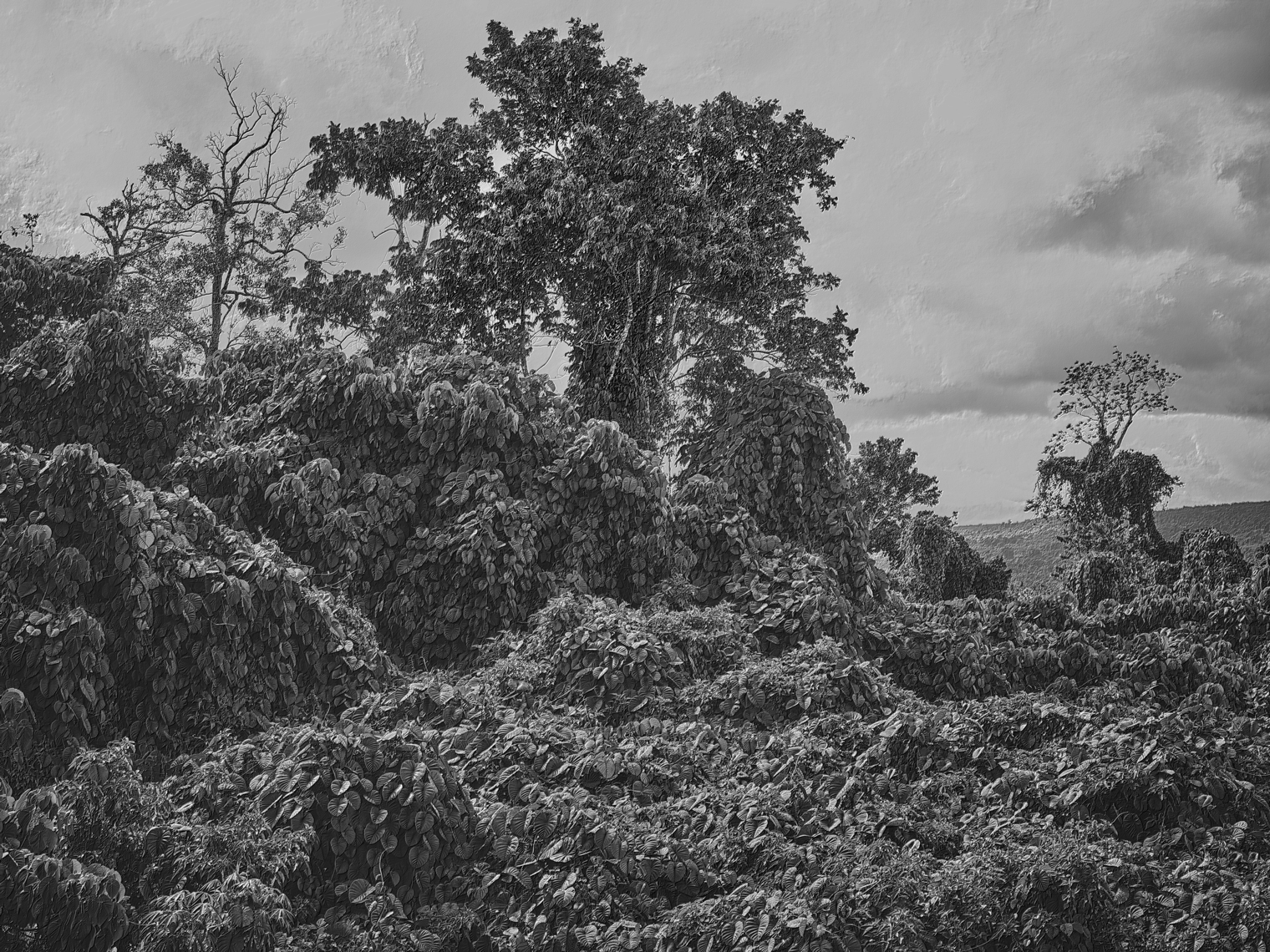 Jon Wyatt Photography - Fault Line IX - A tsunami of vegetation - invasive vines in samoa