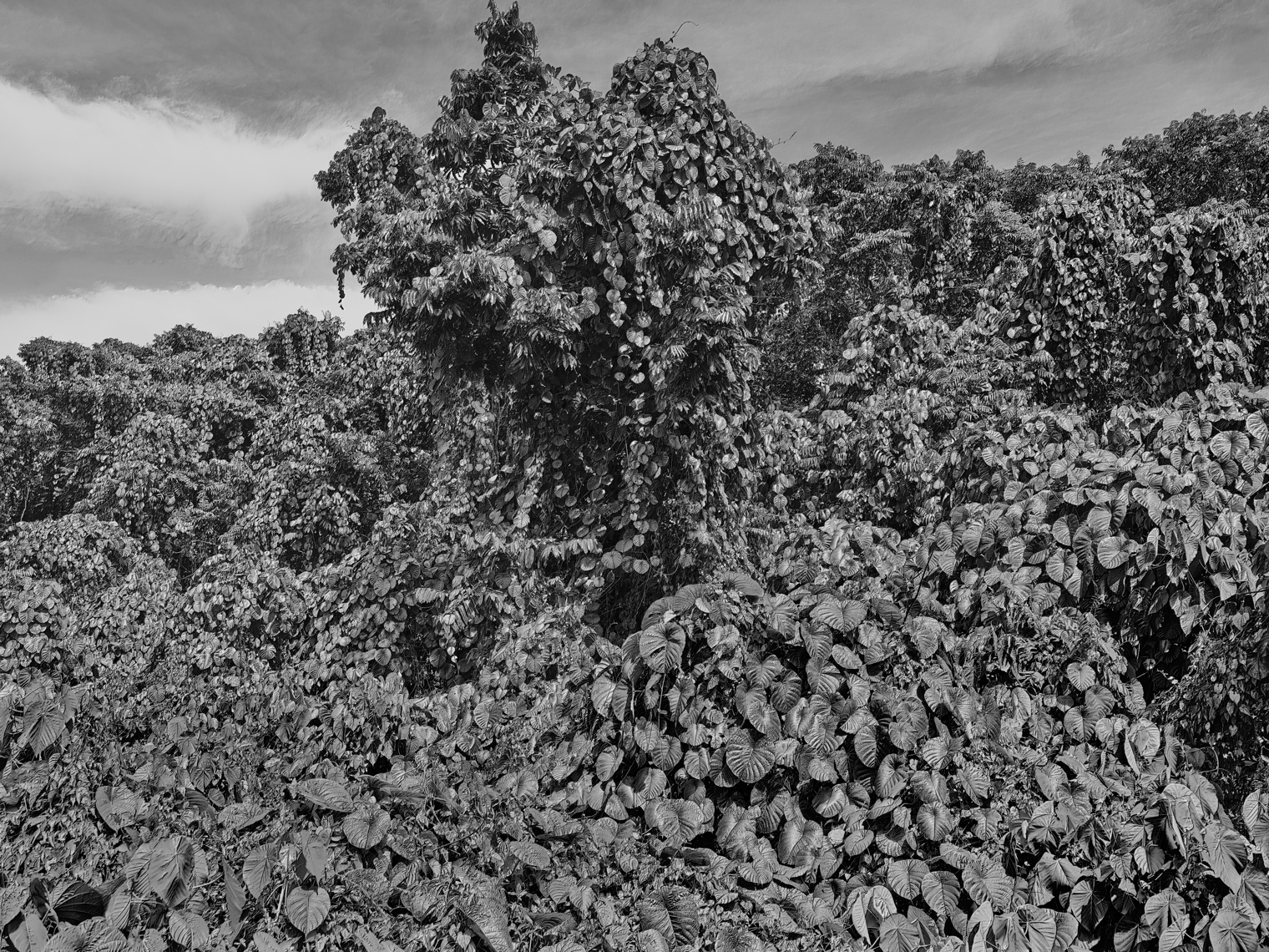 Jon Wyatt Photography - Fault Line XI - A tsunami of vegetation - invasive vines in samoa